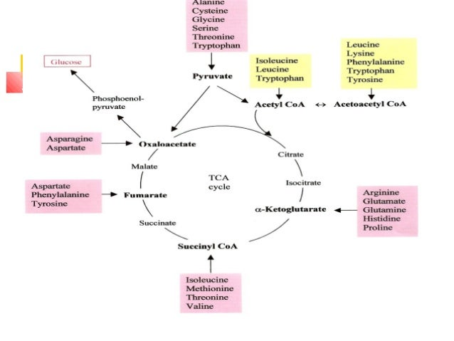metabolism and protein a protein Ammonia is a biomarker of protein metabolism ,11,17,36,37 and at subjects with t2dm, insulin deprivation is associated with an increase in amino acids and by an accelerated protein catabolism 10 .