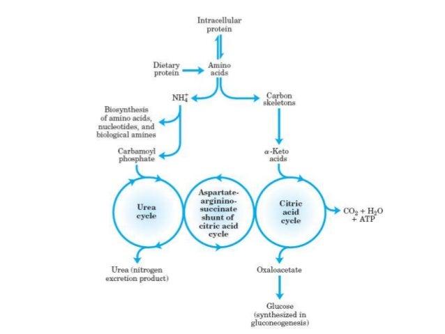 Ketogenic Amino Acids Urea Cycle   KetogenicDietPDF.Com