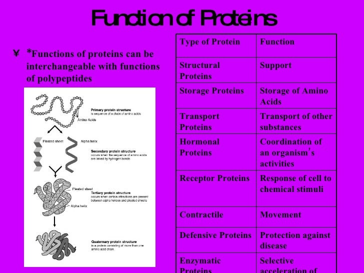 protein function Proteins perform nearly every function carried out by the body on a cellular level all proteins are built from the same 20 amino acids, and the function of the protein derives from is physical shape in three dimensions.
