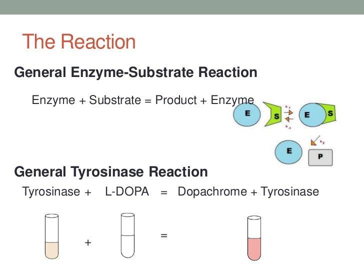 tyrosinase lab View lab report - lab 3 enzyme kinetics of tyrosinase from chemistry 310 at university of great falls enzyme kinetics of tyrosinase aron wardhaugh brock picard biochemistry i, mon 3-5pm 10/21/2013.