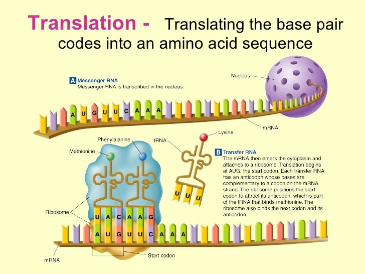 describe the process of protein synthesis 1 transcription: dna is too large to leave the nucleus so the protein code it contains must leave the nucleus a process called transcription form a.