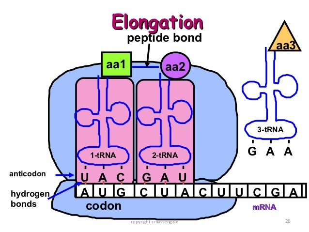 Peptide bond in protein synthesis