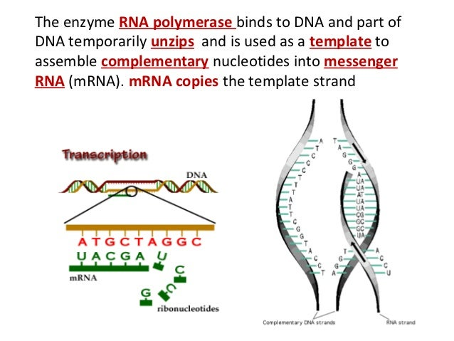 Enzymes in protein synthesis