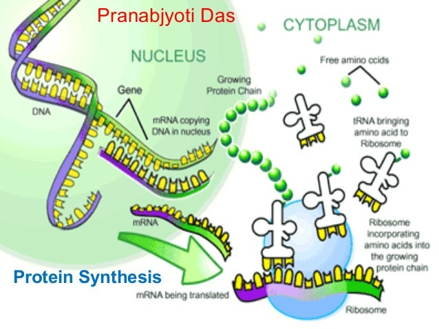 Translation labeled diagram complete wiring diagrams protein synthesis rh slideshare net dna transcription diagram dna transcription diagram ccuart Images