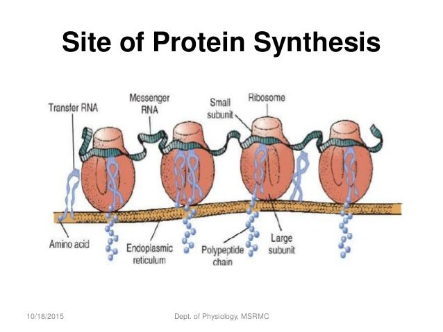 protein synthesis in human body