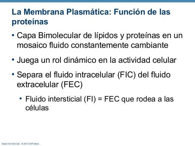 Depto de Ciencias, © 2013 GAToledo, . La Membrana Plasmática: Función de las proteínas • Capa Bimolecular de lípidos y pro...