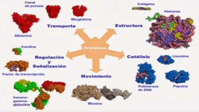 La función de cada proteína varía según su estructura. Las funciones principales son las siguientes: Anticuerpos, ayudand...