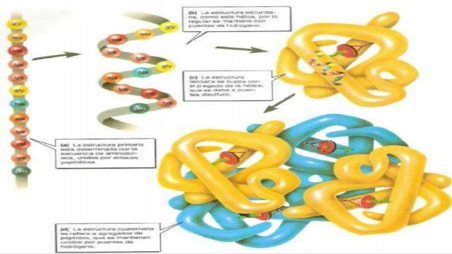 La estructura de una proteína determina su función. Por ejemplo, el colágeno tiene una forma helicoidal super enrollada. E...