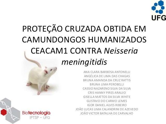 PROTEÇÃO CRUZADA OBTIDA EM CAMUNDONGOS HUMANIZADOS CEACAM1 CONTRA Neisseria meningitidis ANA CLARA BARBOSA ANTONELLI ANGÉL...
