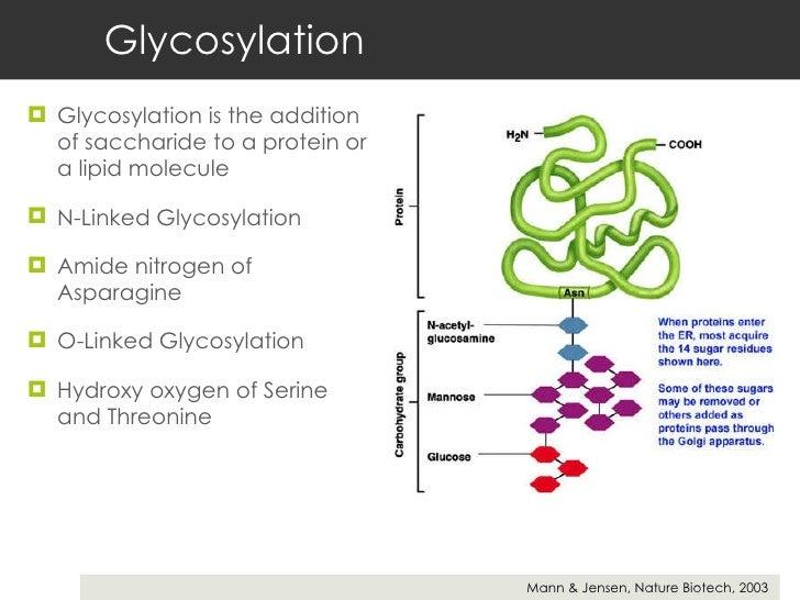 Glycosylation <ul><li>Glycosylation is the addition of saccharide to a protein or a lipid molecule </li></ul><ul><li>N-Lin...