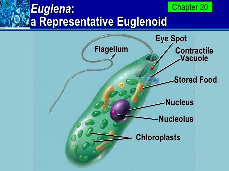 euglena : a representative euglenoid flagellum eye spot