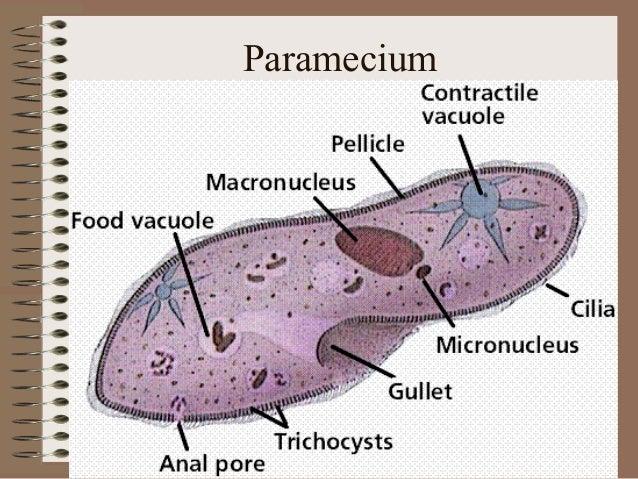 Protist And Bacteria Presentation