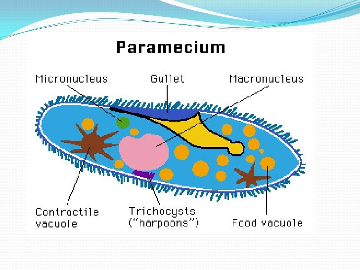 Protist Cell Structure Protists