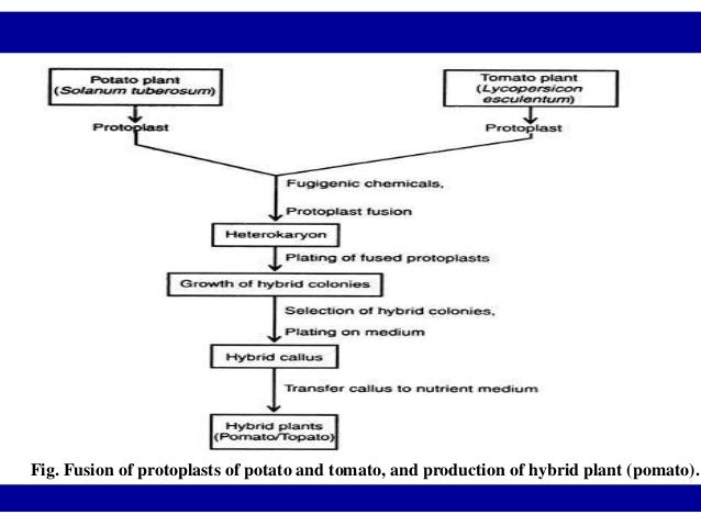 Procedure for successful somatic hybridization is as below:(i) Isolation of protoplasts from suitable plants. (ii) Mixing ...