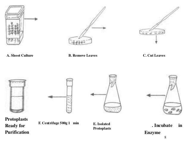 A. Shoot Culture                    B. Remove Leaves           C. Cut LeavesG.Protoplasts                   F. Centrifuge ...