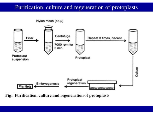 Purification, culture and regeneration of protoplastsFig: Purification, culture and regeneration of protoplasts