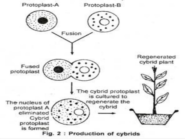 protoplast isolation and fusion