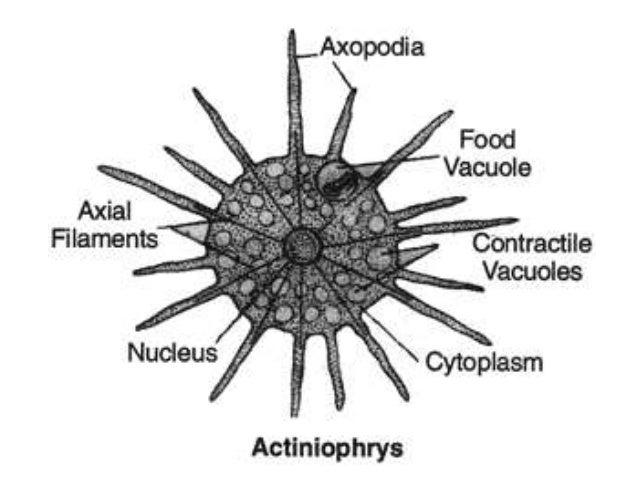 clear concept of protozoa fish