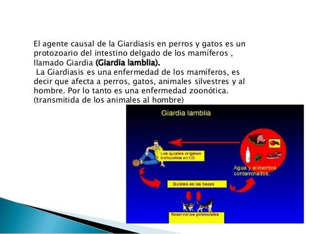 Toxoplasma gondii es un protozoo del orden de los coccidios invade la mayoría de las células nucleadas y adopta formas dif...
