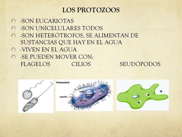 LOS PROTOZOOS <ul><li>-SON EUCARIOTAS </li></ul><ul><li>-SON UNICELULARES TODOS </li></ul><ul><li>-SON HETERÓTROFOS, SE AL...