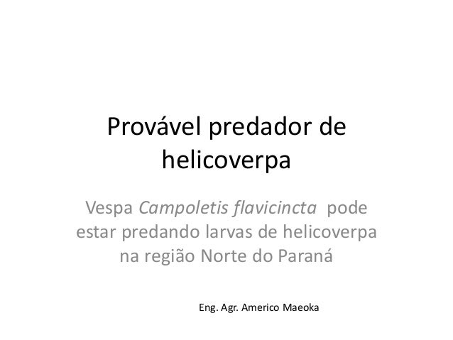 Provável predador de helicoverpa Vespa Campoletis flavicincta pode estar predando larvas de helicoverpa na região Norte do...