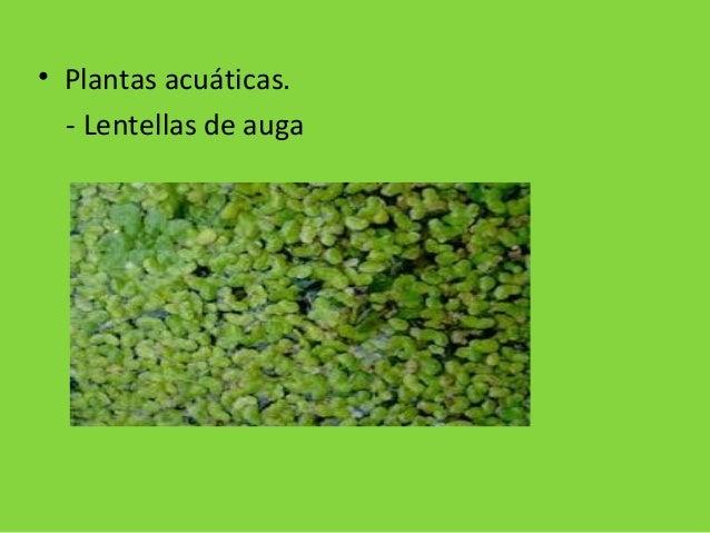 • Plantas acuáticas. - Lentellas de auga