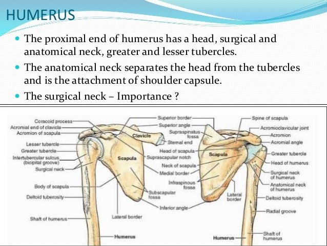 proximal humerus fractures anatomy and classification, Cephalic Vein