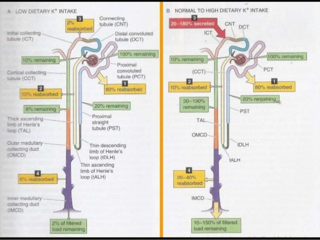 Proximal renal tubule physiology