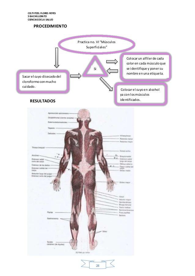 Perfecto Modelos Musculares Anatomía Etiquetado Bosquejo - Imágenes ...