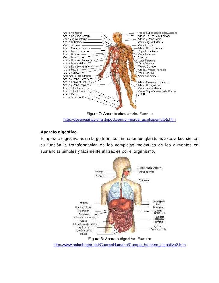 Perfecto Cuerpo Humano Interno Molde - Anatomía de Las Imágenesdel ...