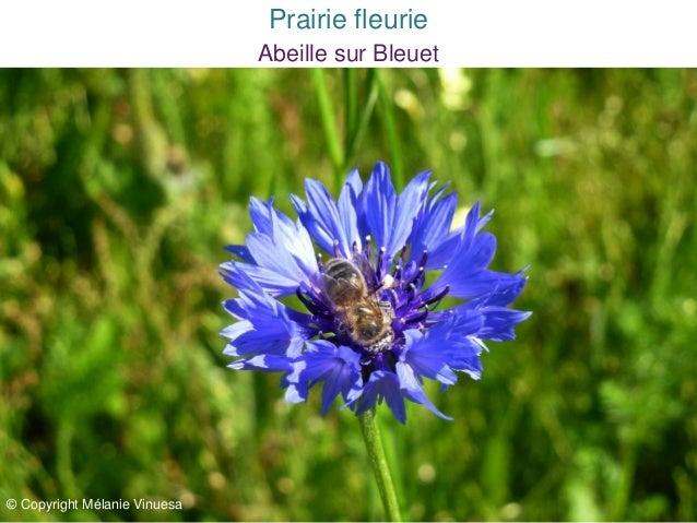 Abeille sur Bleuet© Copyright Mélanie VinuesaPrairie fleurie
