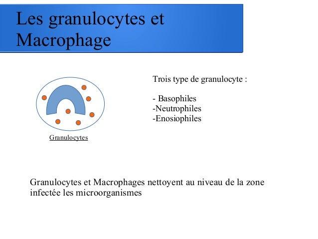 Les granulocytes et Macrophage Granulocytes Trois type de granulocyte : - Basophiles -Neutrophiles -Enosiophiles Granulocy...