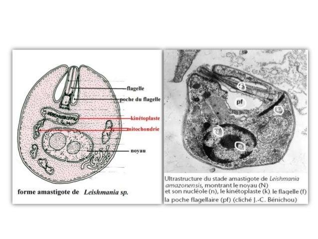 PHYSIOPATHOLOGIE-          IMMUNITE :• Suite à l'inoculation dans un hôte• Les promastigotes = vulnérables• Doivent échapp...