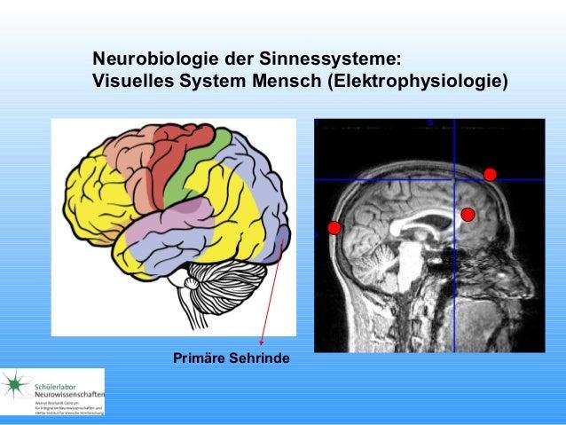 Neurobiologie der Sinnessysteme: Visuelles System Mensch (Elektrophysiologie) Primäre Sehrinde