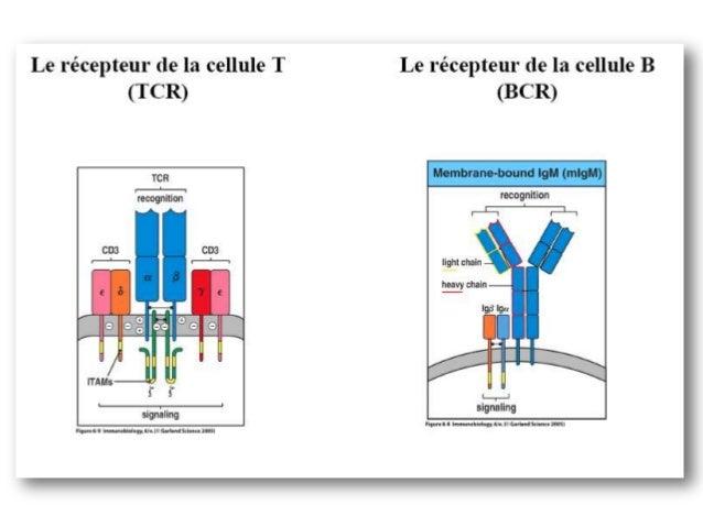 •LES GÈNES DES Ig- Les chaines lourdes (H) des Ig sont codées par les gènes IGH localisésen14q32.33,- les chaines légères ...