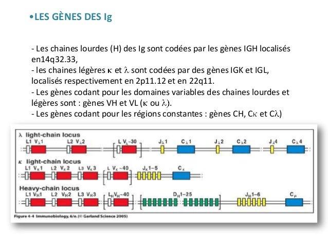 Gènes et séquences de variabilité des Ig