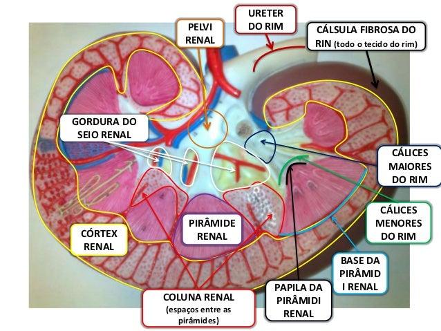 URETER                  PELVI           DO RIM     CÁLSULA FIBROSA DO                  RENAL                      RIN (tod...