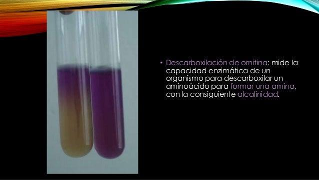 Microorganismos ornitina positivos • Especies de Enterobacter • Proteus mirabilis • Proteus morganii • Yersinia enterocoli...
