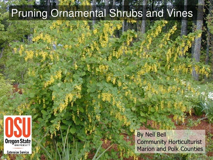 Pruning Ornamental Shrubs and Vines                        By Neil Bell                        Community Horticulturist   ...