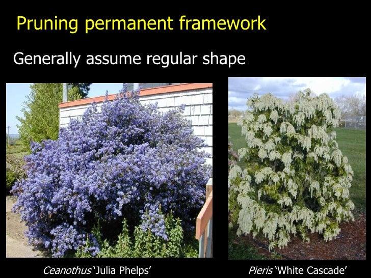 "Pruning permanent frameworkGenerally assume regular shape   Ceanothus ""Julia Phelps""      Pieris ""White Cascade"""