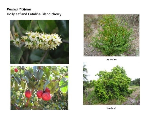 Prunus ilicifolia Hollyleaf and Catalina Island cherry Ssp. ilicifolia Ssp. lyonii