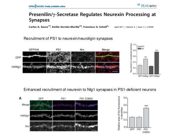 Recruitment of PS1 to neurexin/neuroligin synapsesEnhanced recruitment of neurexin to Nlg1 synapses in PS1-deficient neurons