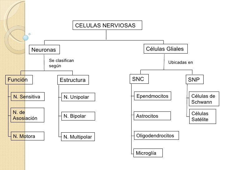 Moderno Diagrama De Célula Nerviosa Ideas - Anatomía de Las ...