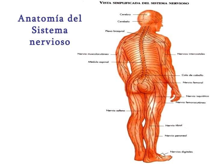 Anatomía del Sistema nervioso