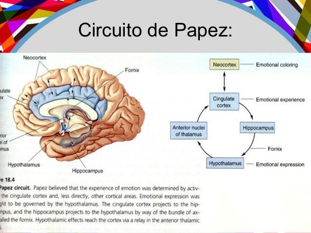 Circuito De Papez : Psicología educativa