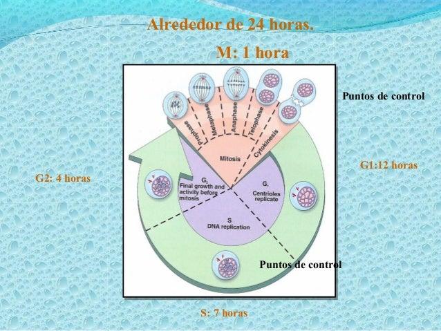 El daño al ADN La célula sufrirá apoptosis y se e incrementa p53 Se activa la transcripción del gene que codifica para un ...