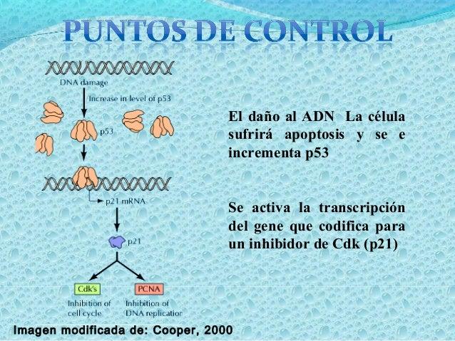 Las células que se encuentran en el ciclo celular se llaman:Las células que se encuentran en el ciclo celular se llaman: c...