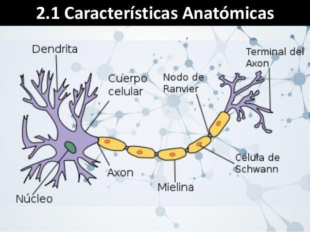 Bases Biologicas de la Conducta - Neuronas y Sistema Nervioso