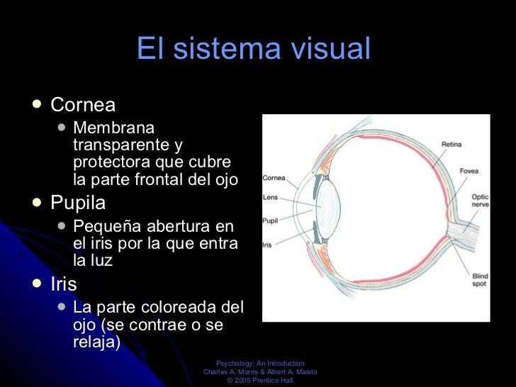 El sistema visual  <ul><li>Cornea  </li></ul><ul><ul><li>Membrana transparente y protectora que cubre la parte frontal del...