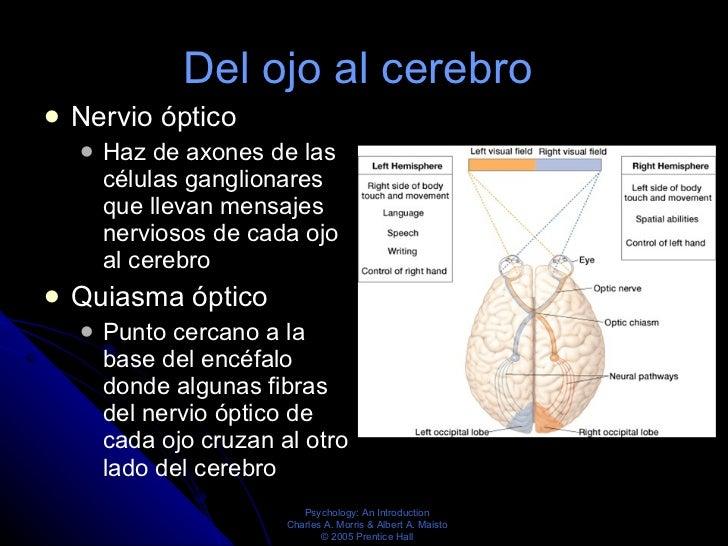 Del ojo al cerebro  <ul><li>Nervio óptico  </li></ul><ul><ul><li>Haz de axones de las células ganglionares que llevan mens...